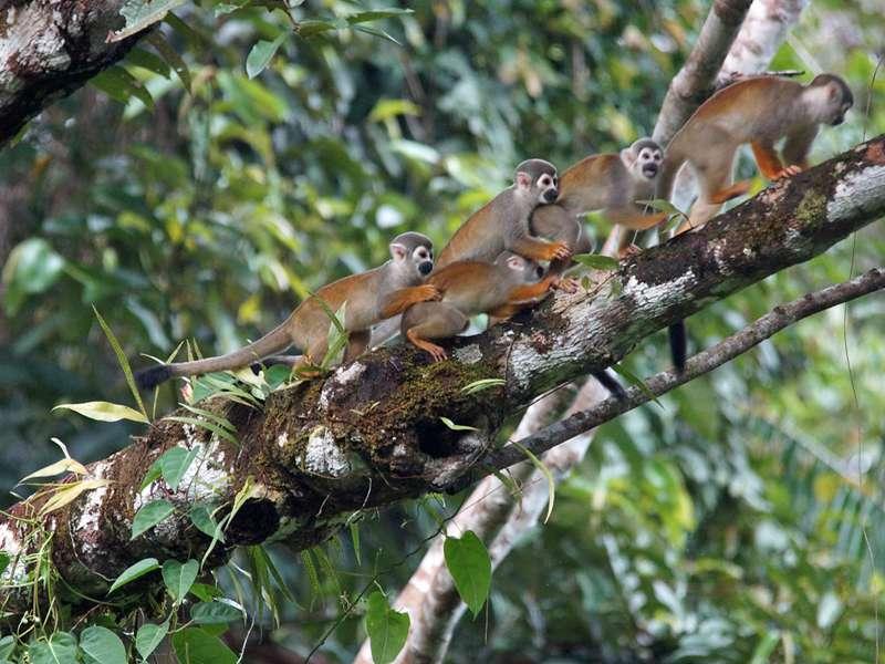 Gewöhnlicher Totenkopfaffe (Common Squirrel Monkey, Saimiri sciureus); Foto: 12.12.2017, Napo Wildlife Center