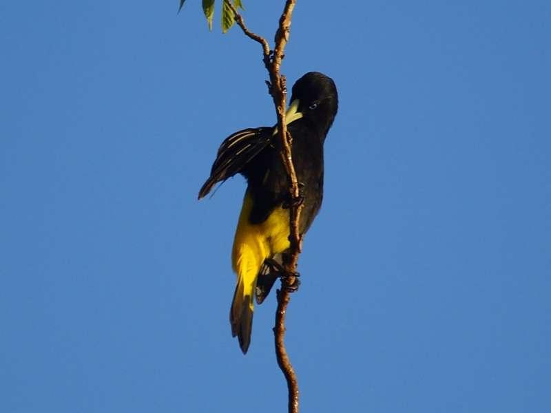 Gelbbürzel-Kassike (Yellow-rumped Cacique, Cacicus cela); Foto: 13.12.2017, Napo Wildlife Center