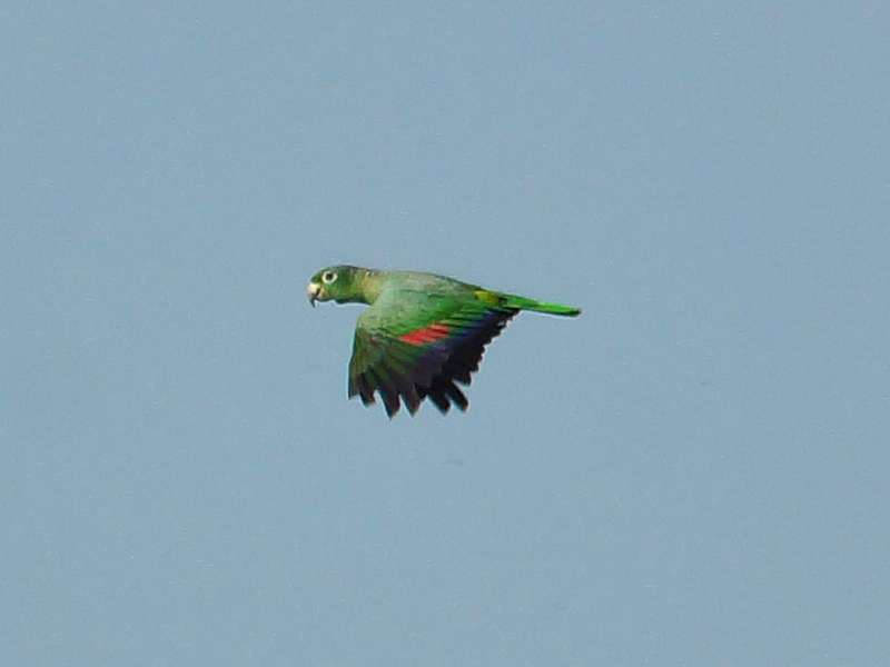 Müller-Amazone (Mealy Parrot, Amazona farinosa); Foto: 13.12.2017, Napo Wildlife Center