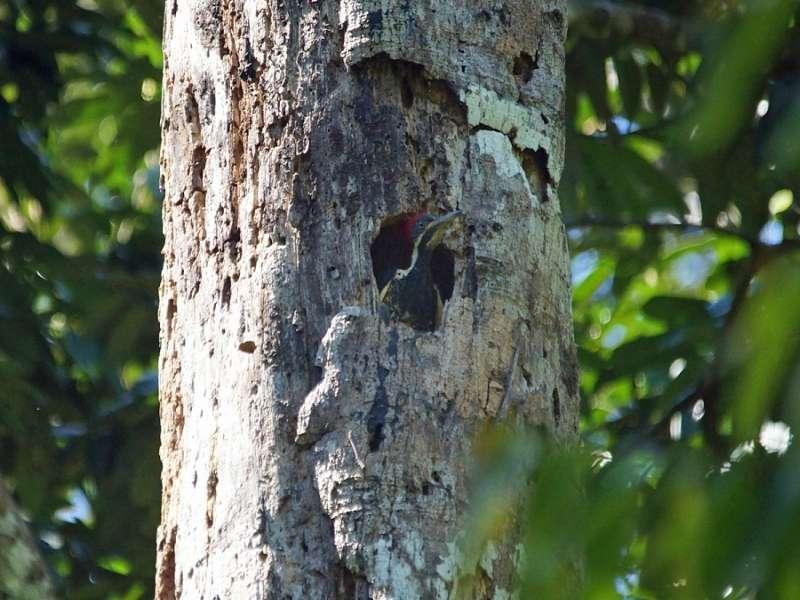 Linienspecht (Lineated Woodpecker, Hylatomus lineatus); Foto: 13.12.2017, Napo Wildlife Center