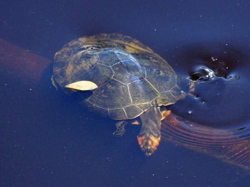Arrauschildkröte (South American River Turtle, Podocnemis expansa); Foto: 13.12.2017, Napo Wildlife Center