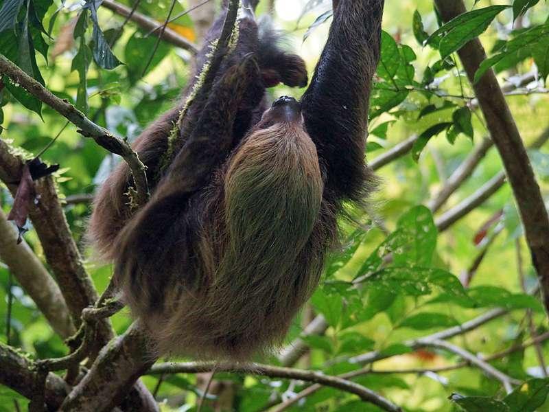 Braunkehl-Faultier (Brown-throated Three-toed Sloth, Bradypus variegatus); Foto: 14.12.2017, Napo Wildlife Center
