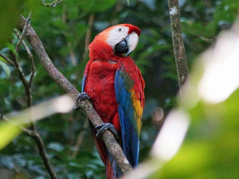 Hellroter Ara (Scarlet Macaw, Ara macao); Foto: 16.12.2017, Nähe Napo Wildlife Center