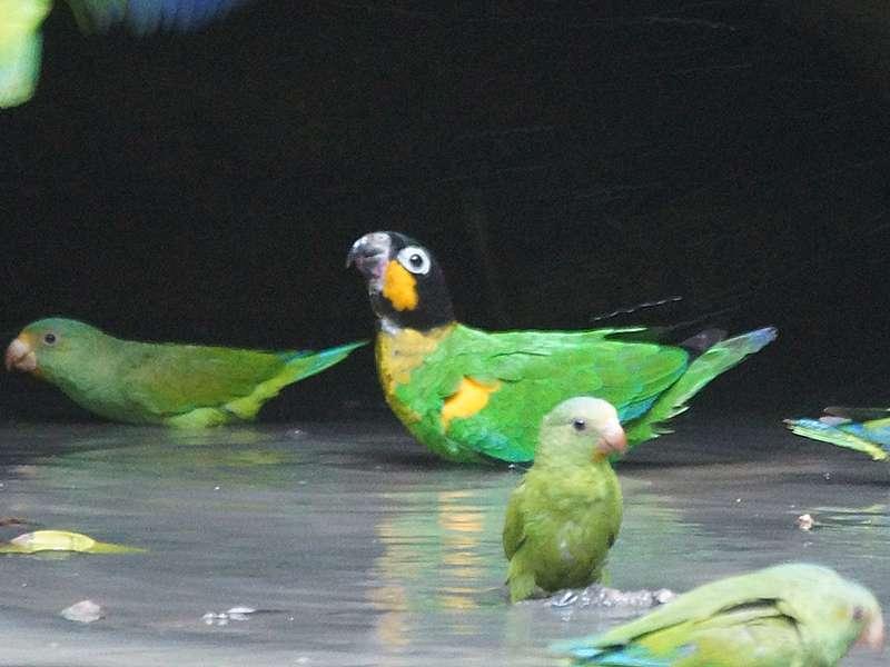 Goldwangenpapagei (Orange-cheeked Parrot, Pyrilia barrabandi); Foto: 14.12.2017, Nähe Napo Wildlife Center