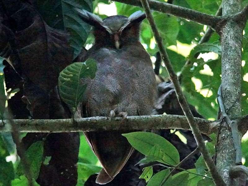 Haubenkauz (Crested Owl, Lophostrix cristata); Foto: 14.12.2017, Nähe Napo Wildlife Center