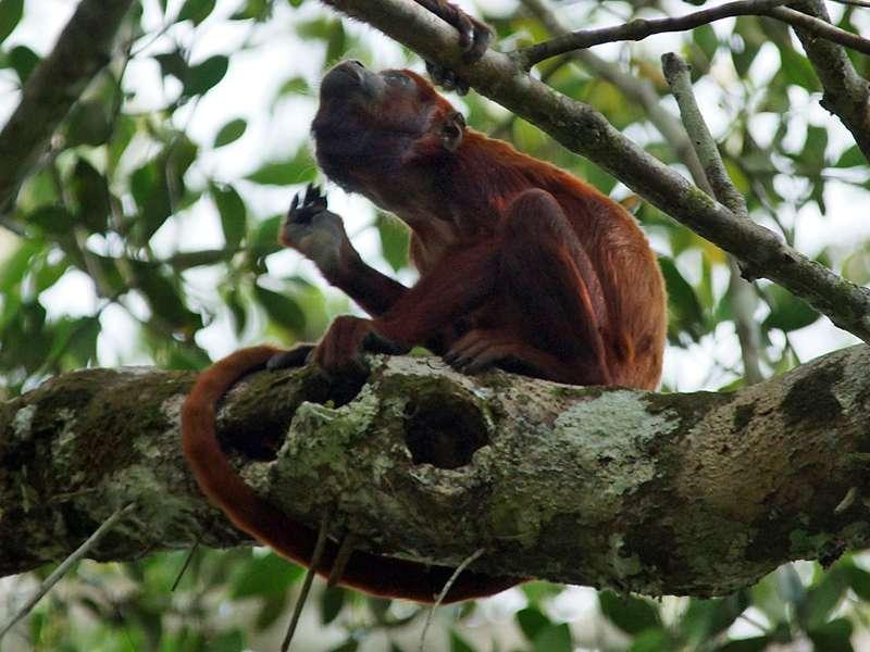 Männlicher Roter Brüllaffe (Venezuelan Red Howler,Alouatta seniculus); Foto: 14.12.2017, Napo Wildlife Center