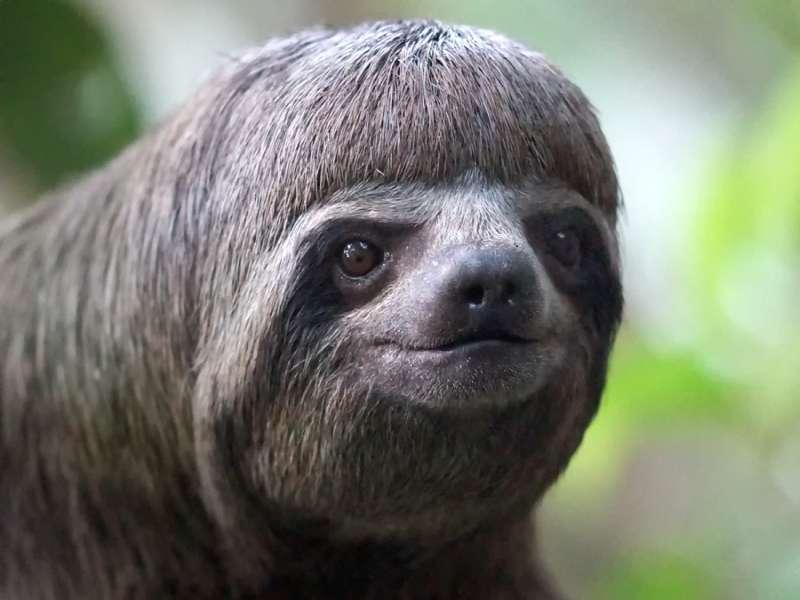 Braunkehl-Faultier (Brown-throated Three-toed Sloth, Bradypus variegatus); Foto: 15.12.2017, Sacha Lodge