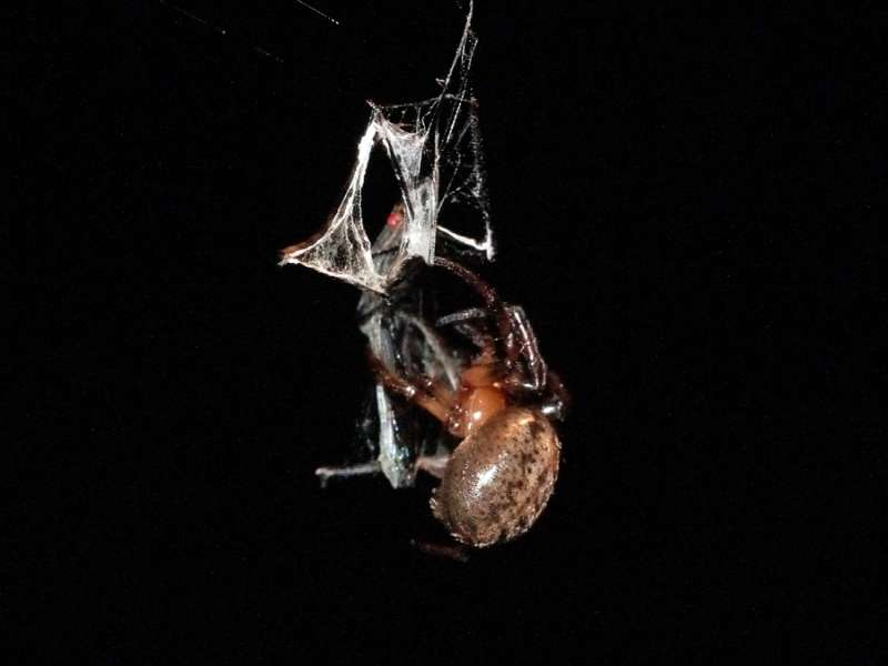 Unbestimmte Spinnenart Nr. 40; Foto: 15.12.2017, Sacha Lodge