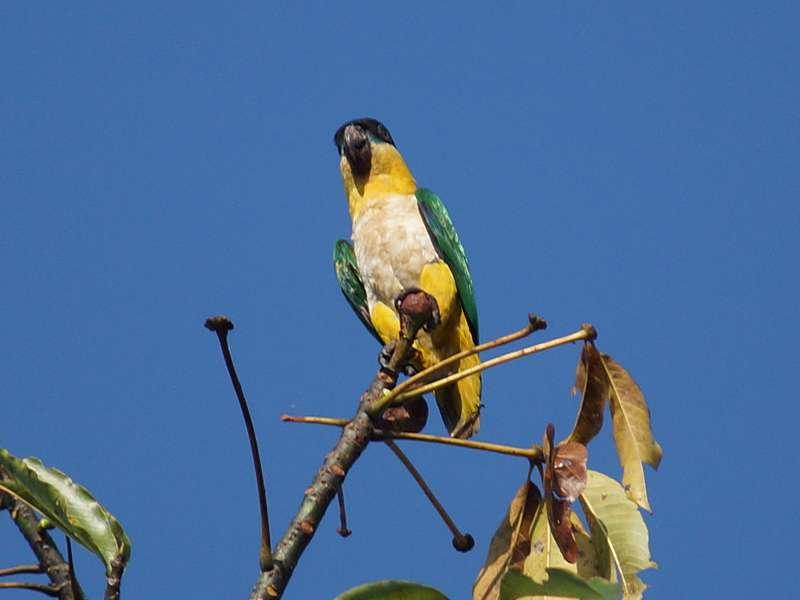 Grünzügelpapagei (Black-headed Parrot, Pionites melanocephalus); Foto: 15.12.2017, Napo Wildlife Center