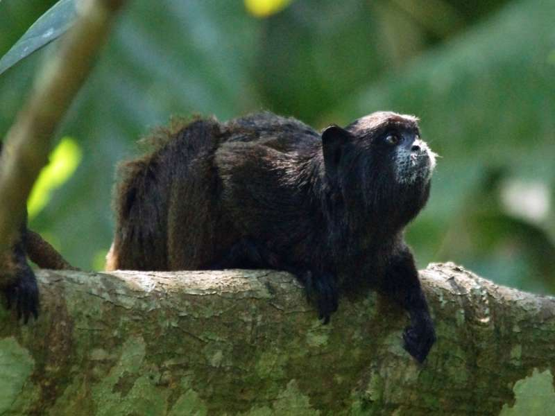 Braunrückentamarin (Brown-mantled Tamarin, Saguinus fuscicollis); Foto: 15.12.2017, Sacha Lodge