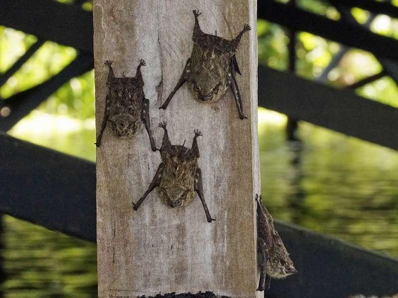 Nasenfledermaus (Proboscis Bat,Rhynchonycteris naso); Foto: 16.12.2017, Sacha Lodge