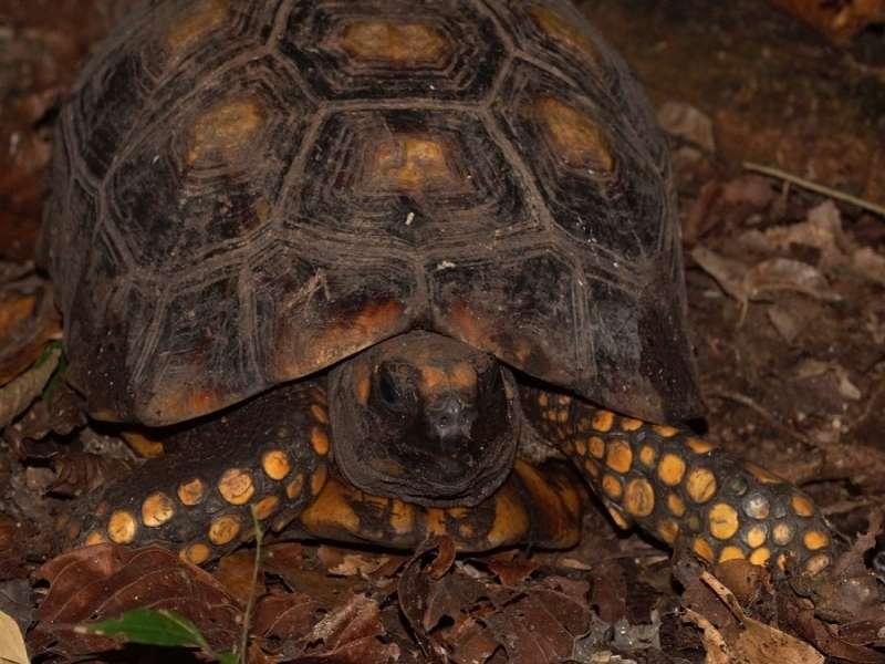 Waldschildkröte (South American Yellow-footed Tortoise, Chelonoidis denticulata); Foto: 16.12.2017, Sacha Lodge