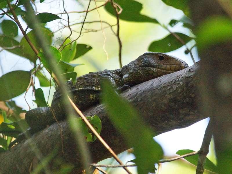 Krokodilteju (Caiman Lizard, Dracaena guianensis); Foto: 16.12.2017, Sacha Lodge