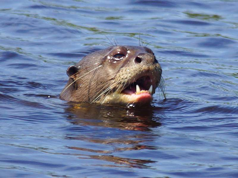 Riesenotter (Giant Otter,Pteronura brasiliensis); Foto: 16.12.2017, Sacha Lodge