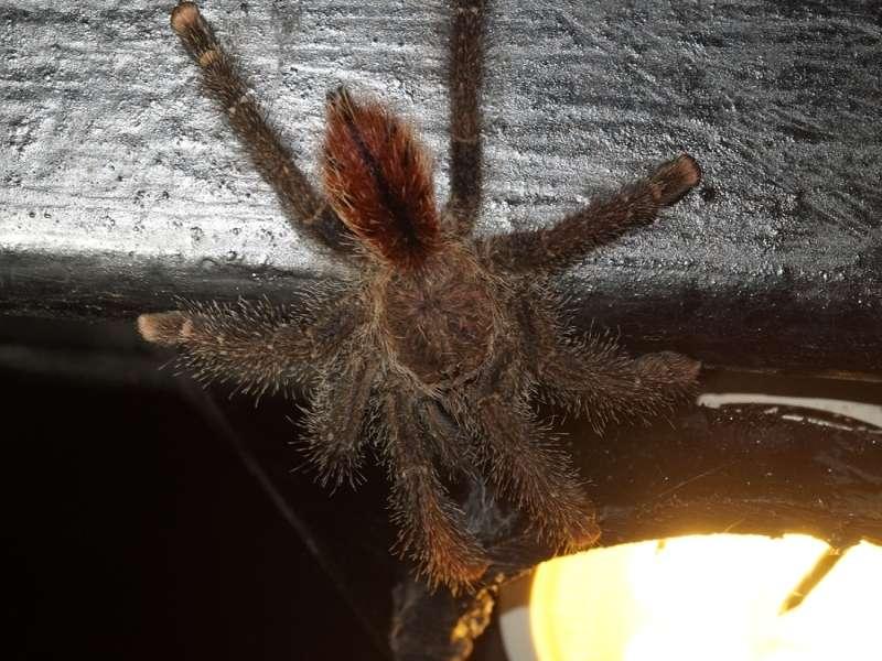 Avicularia juruensis; Foto: 17.12.2017, Sacha Lodge