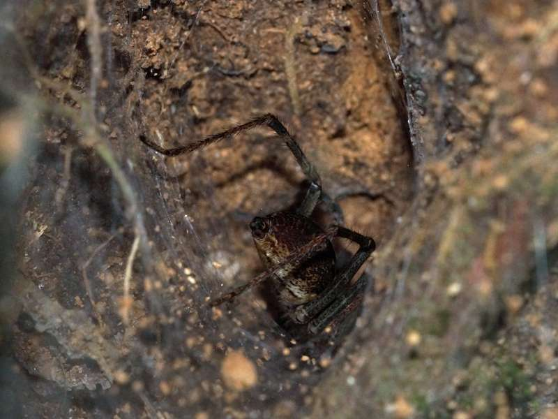 Unbestimmte Spinnenart Nr. 42; Foto: 18.12.2017, Sacha Lodge
