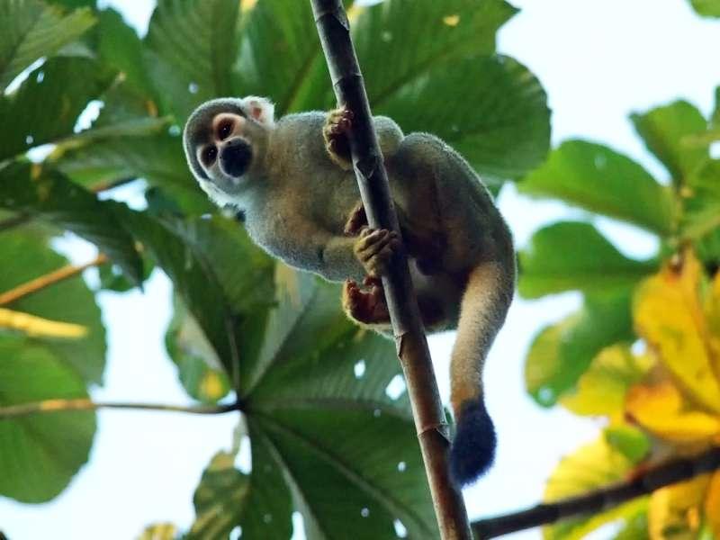 Gewöhnlicher Totenkopfaffe (Common Squirrel Monkey, Saimiri sciureus); Foto: 18.12.2017, Sacha Lodge