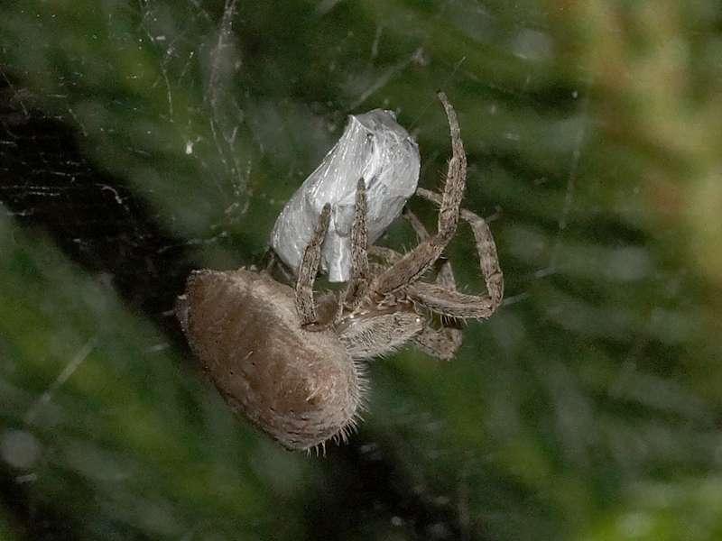 Unbestimmte Spinnenart Nr. 46; Foto: 21.12.2017, Cabañas Heliconia, Nähe La Concordia