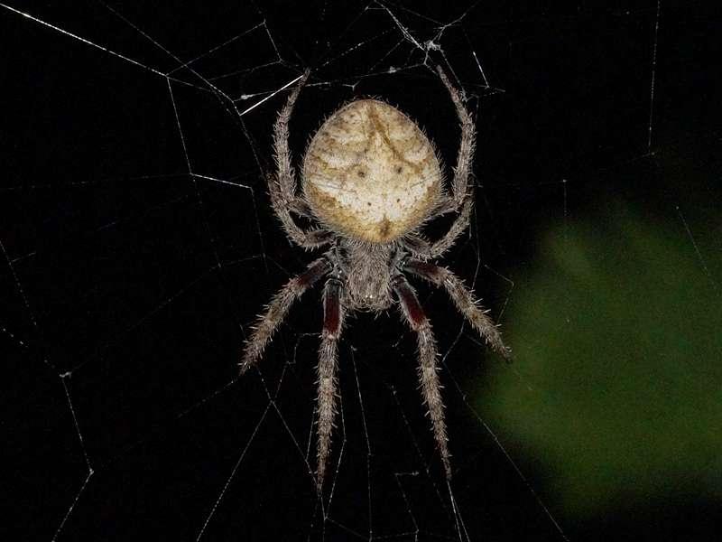 Unbestimmte Spinnenart Nr. 47; Foto: 21.12.2017, Cabañas Heliconia, Nähe La Concordia