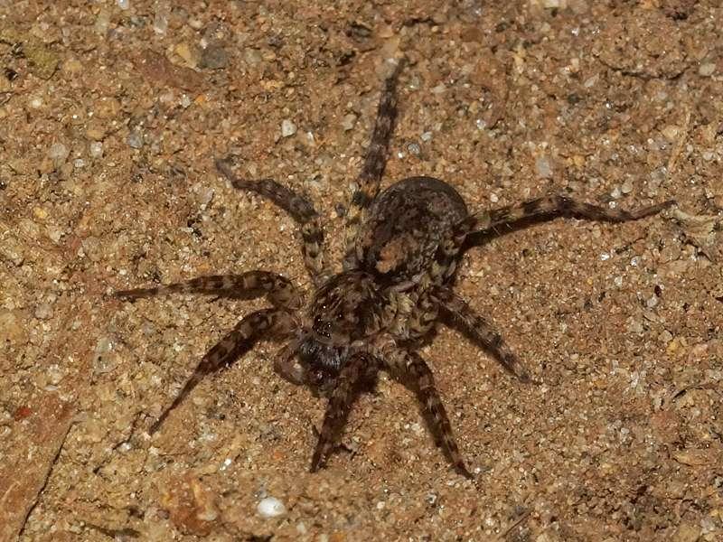 Unbestimmte Spinnenart Nr. 48; Foto: 21.12.2017, Cabañas Heliconia, Nähe La Concordia
