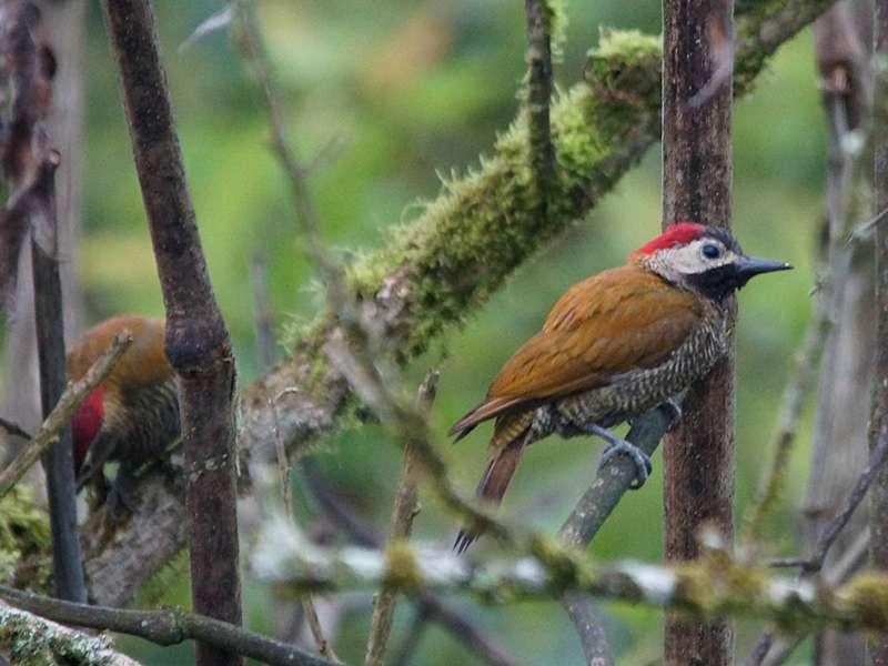 Olivmantelspecht (Golden-olive Woodpecker, Colaptes rubiginosus); Foto: 23.12.2017, Yellow House Mindo