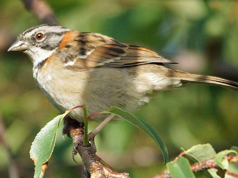 Morgenammer (Rufous-collared Sparrow, Zonotrichia capensis); Foto: 25.12.2017, Hostería Sommergarten, Sangolquí
