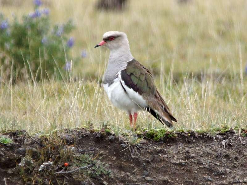 Andenkiebitz (Andean Lapwing, Vanellus resplendens); Foto: 26.12.2017, Cotopaxi-Nationalpark