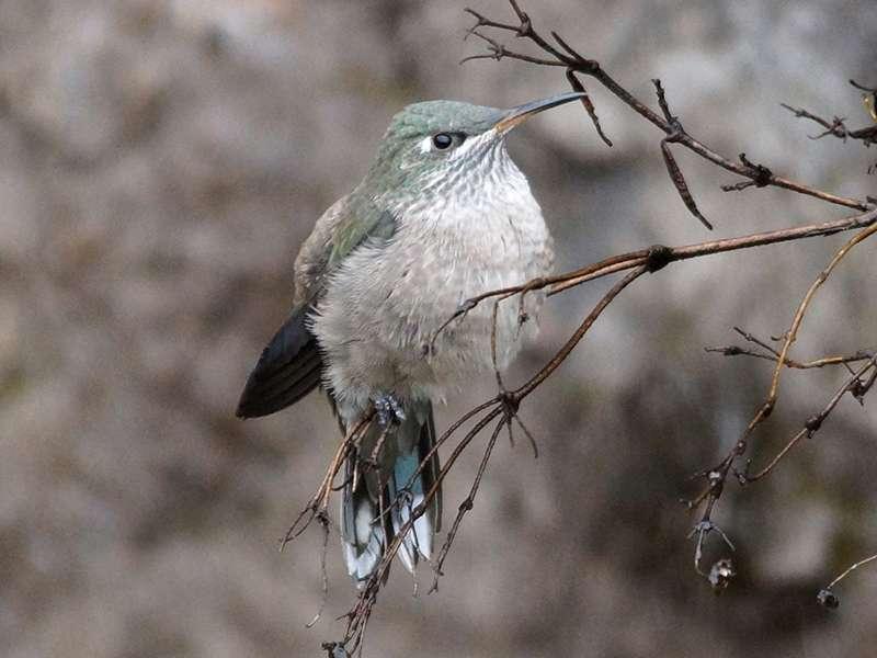 Weiblicher Ecuador-Andenkolibri (Ecuadorian Hillstar, Oreotrochilus chimborazo); Foto: 27.12.2017, Reserva de Producción de Fauna Chimborazo