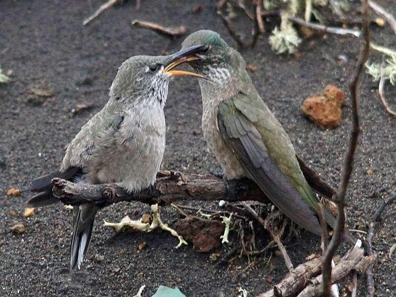 Weiblicher Ecuador-Andenkolibri (Ecuadorian Hillstar, Oreotrochilus chimborazo), rechts, füttert seinen weiblichen Nachwuchs; Foto: 27.12.2017, Reserva de Producción de Fauna Chimborazo