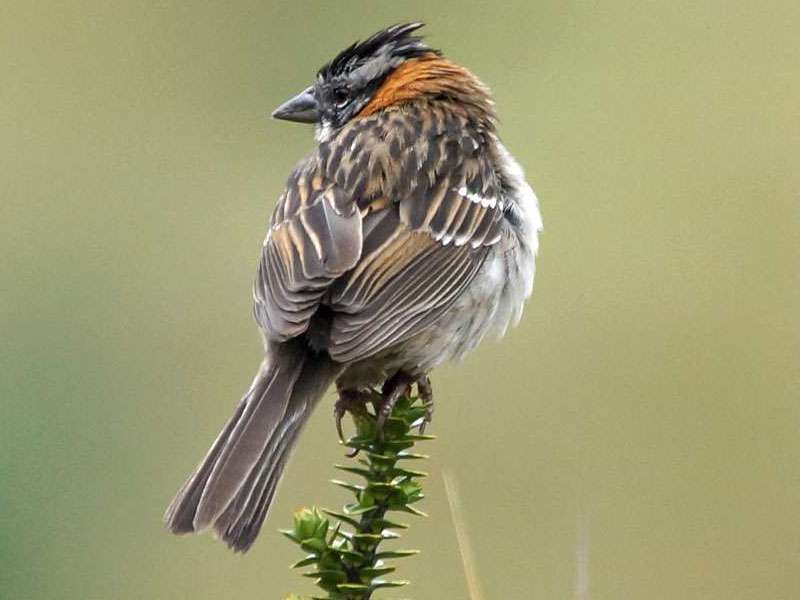 Morgenammer (Rufous-collared Sparrow, Zonotrichia capensis); Foto: 27.12.2017, Reserva de Producción de Fauna Chimborazo