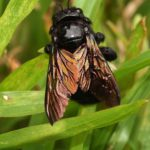 Hautflügler (Ants, Bees, Wasps and Sawflies, Hymenoptera)