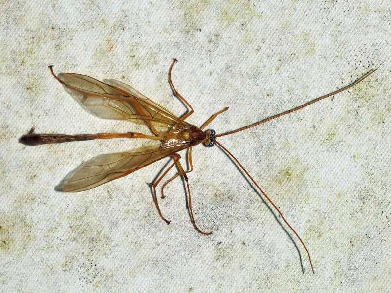 Enicospilus americanus (Komplex); Foto: 07.12.2017, Cabañas San Isidro, Nähe Cosanga