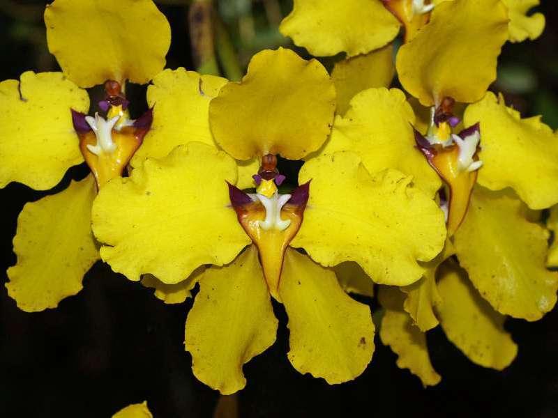 Cyrtochilum macranthum (Golden Cloud Orchid); Foto: 07.12.2017, Guango Lodge, Nähe Papallacta