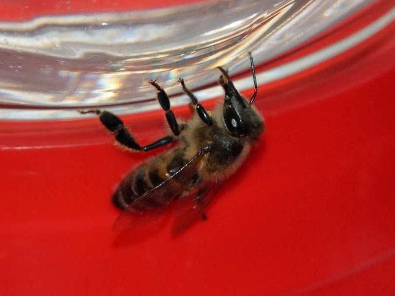 Westliche Honigbiene (Western Honey Bee, Apis mellifera); Foto: 07.12.2017, Cabañas San Isidro, Nähe Cosanga