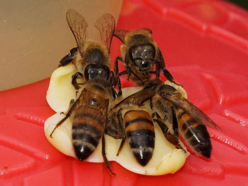 Westliche Honigbiene (Western Honey Bee, Apis mellifera); Foto: 08.12.2017, Cabañas San Isidro, Nähe Cosanga