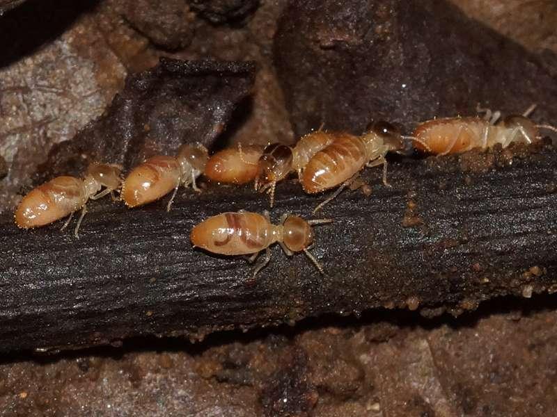 Termiten (Termites, Isoptera); Foto: 08.12.2017, Huasquila Amazon Lodge, Nähe Cotundo
