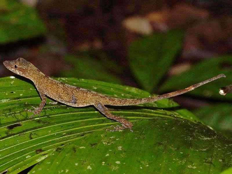 Unbestimmtes Reptil; Foto: 08.12.2017, Huasquila Amazon Lodge, Nähe Cotundo