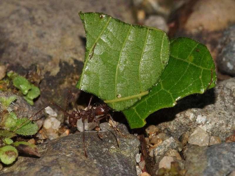 Blattschneiderameisenart Nr. 1 (Formicidae); Foto: 09.12.2017, Huasquila Amazon Lodge, Nähe Cotundo