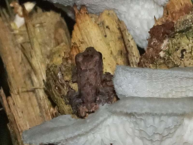 Unbestimmte Amphibienart Nr. 8; Foto: 18.12.2017, Sacha Lodge