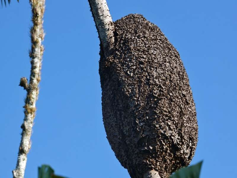 Termitennest (Termites, Isoptera); Foto: 18.12.2017, Sacha Lodge