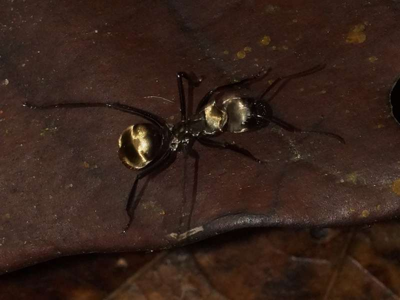 Camponotus sericeiventris; Foto: 21.12.2017, Nähe La Concordia