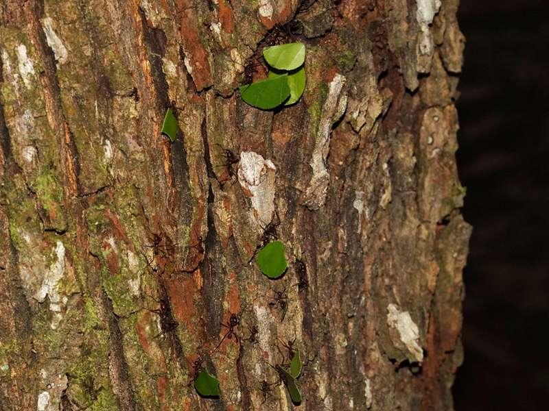 Blattschneiderameisenart Nr. 3 (Formicidae); Foto: 21.12.2017, Cabañas Heliconia, Nähe La Concordia