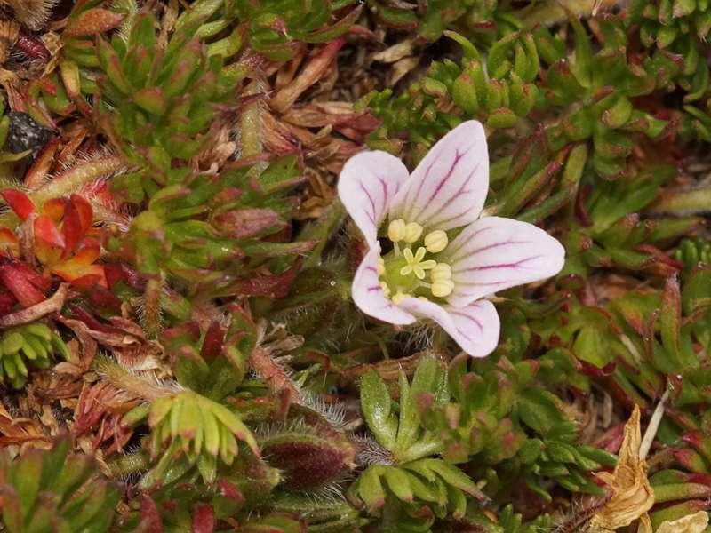 Geranium sp.; Foto: 24.12.2017, Reserva Ecológica Antisana