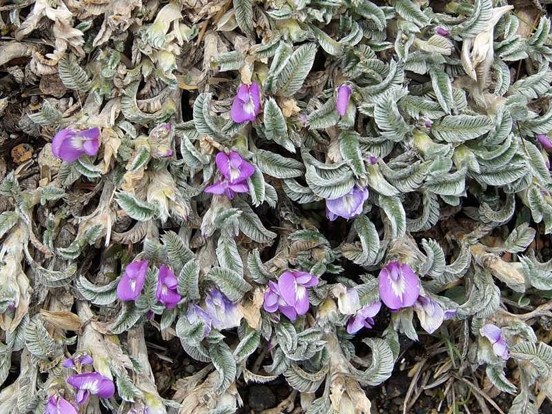 Astragalus geminiflorus; Foto: 27.12.2017, Reserva de Producción de Fauna Chimborazo