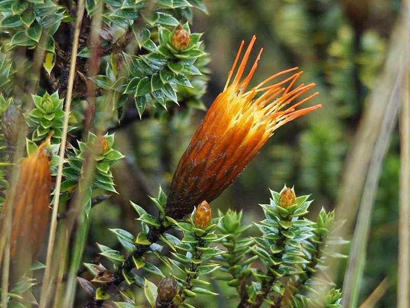 Chuquiraga jussieui (Flower of the Andes); Foto: 27.12.2017, Reserva de Producción de Fauna Chimborazo