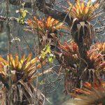 Balsaminaceae bis Cyclanthaceae
