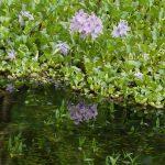 Poaceae bis Rubiaceae