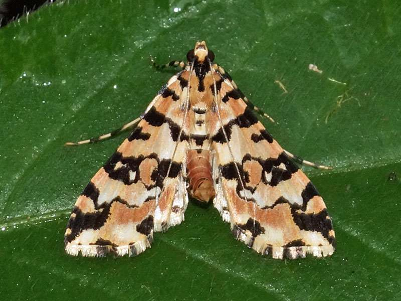Conchylodes salamisalis (Blush Conchylodes Moth); Foto: 23.12.2017, Yellow House Mindo