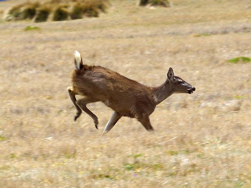 Weiblicher Weißwedel-Hirsch (White-tailed Deer, Odocoileus virginianus); Foto: 24.12.2017, Reserva Ecológica Antisana