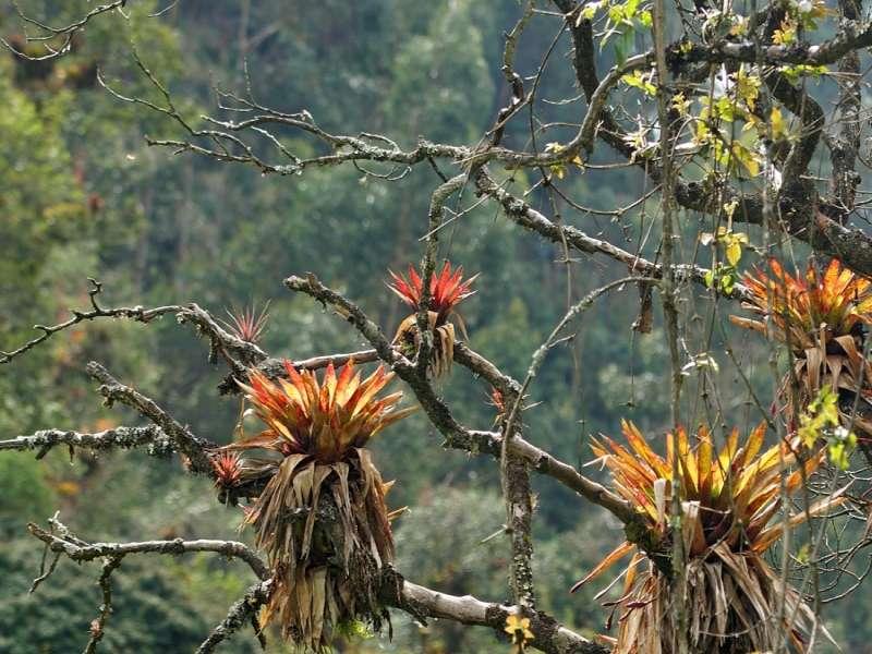 Bromelie (Bromelia, Bromeliaceae sp.); Foto: 25.12.2017, Wanderweg zum Condor-Machay-Wasserfall